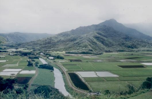 Plantação de taro; raiz roxa é a base da alimentação havaiana