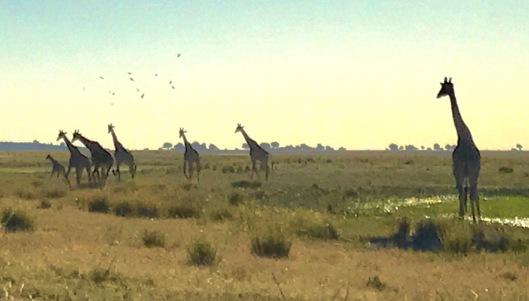 Girafódromo